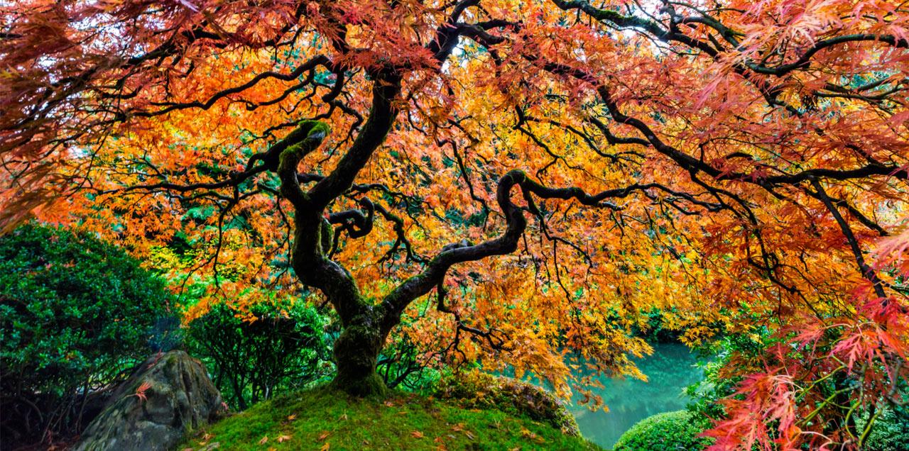 Erable rouge du japon - Erable du japon pourpre ...